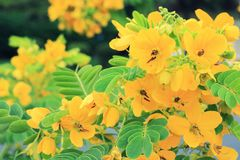 Scrambled Egg Tree - Senna surattensis (Burm.f.) Royalty Free Stock Images