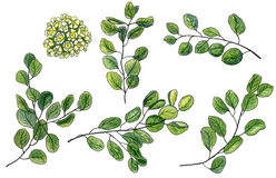 Scrap set of watercolor waxflower and green leaves of eucalyptus Stock Photo