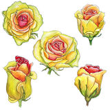 Scrap set of yellow pink watercolor roses with a stroke  isolate. D on white Stock Photo