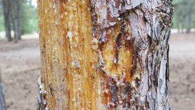 Scraped bark on the trunk of a pine tree and wood tar.  stock video