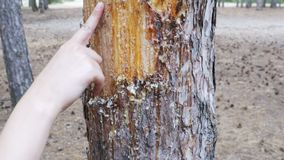 Scraped bark on the trunk of a pine tree and wood tar.  stock video footage
