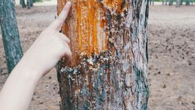 Scraped bark on the trunk of a pine tree and wood tar stock footage
