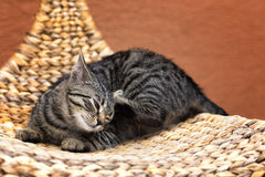 Scraping cat on a wicker chair Royalty Free Stock Image