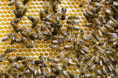 Close up of Honey Bees and their Hive Stock Photos