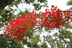 Scrappy red flower tree Stock Images