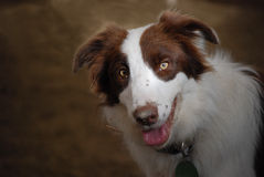 Scrappy. Red and white border collie against a dirt background Royalty Free Stock Photos