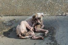 Scratch bianco della pelliccia del cane di scabbia Fotografia Stock