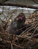Scratch della lontra fotografie stock libere da diritti