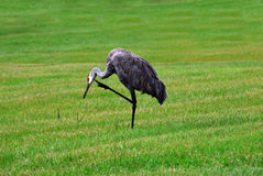 Scratch the Itch. Bird scratching itch, center focused Royalty Free Stock Image