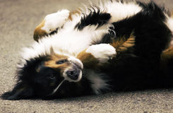 Scratch My Belly? Royalty Free Stock Photo