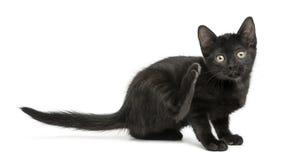 Scratch nero del gattino, esaminante la macchina fotografica, 2 mesi Fotografia Stock Libera da Diritti