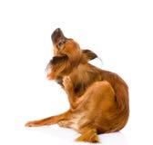 Scratch russo del terrier di giocattolo Isolato su priorità bassa bianca Fotografia Stock Libera da Diritti