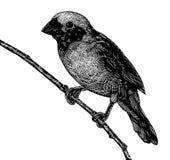 Scratchboard鸟 库存照片