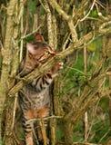 Scratching Bark. A Bengali special breed kitten scratching the bark of an elderflower tree stock photography