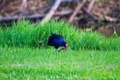 Scratching Bird. A bird scratching itself in the park Stock Photo