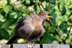 The Scratching blackbird. A female blackbird is scratching its feather and looks like screaming Royalty Free Stock Photo
