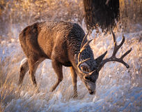 Scratching for Breakfast. Mule deer buck scratching the frozen ground for breakfast royalty free stock photography