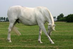Scratching grey horse stock photography