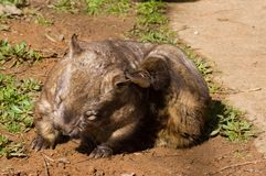 Scratching Hairy-Nosed Wombat. A Hairy-Nosed Wombat itches behind his ear Royalty Free Stock Photos