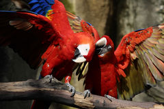 Scratching the head. A photo of two parrots stock photography