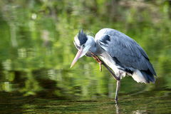 A scratching heron. A hunting heron in a river against a dark green  background profile view Stock Photography