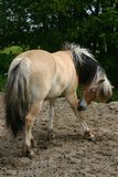 Scratching horse Royalty Free Stock Image