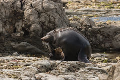Scratching male fur seal. On rocky beach Royalty Free Stock Photography