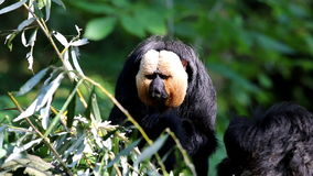 A scratching male white-faced saki stock video footage