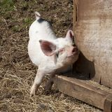 Scratching Piglet Royalty Free Stock Images