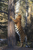 Scratching post. I full size siberian tiger standing on hind legs extending body up a tree Royalty Free Stock Image