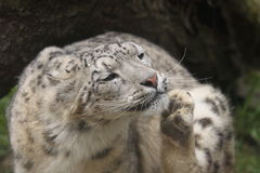 Scratching snow leopard Royalty Free Stock Photos