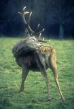 Scratching stag. Stag scratching itself in Wollaton Park in Nottinghan stock photos