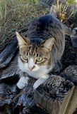 Scratching Tabby Cat Royalty Free Stock Images