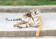 Scratching tiger. Danger tiger scratching itself with paw royalty free stock photo