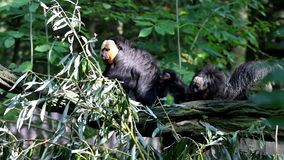 A scratching white-faced saki family stock video