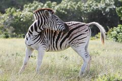 Scratching Zebra Royalty Free Stock Images