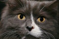 Scratter Tom Cat Immagine Stock
