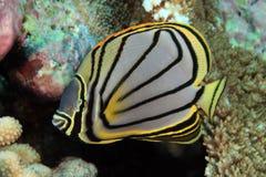 Scrawled butterflyfish Стоковые Изображения