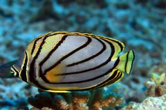 Scrawled butterflyfish Royalty Free Stock Photo