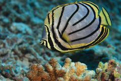 Scrawled butterflyfish Royalty Free Stock Photography