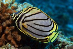 Scrawled butterflyfish Stock Photos