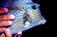 Scrawled cowfish, Acanthostracion quadricornis Stock Photos