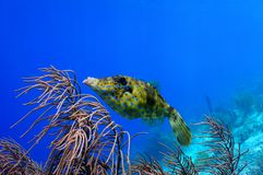 Scrawled file fish. Swimming along colorful tropical reef stock photos
