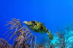 Scrawled file fish Stock Photos