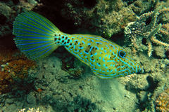 Scrawled Filefish Royalty Free Stock Image