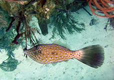Scrawled filefish Royalty Free Stock Photo