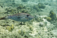 Scrawled filefish (aluterus scriptus). Taken in Middle Garden Stock Photo