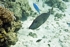 Scrawled filefish (aluterus scriptus) royalty free stock image