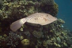 Scrawled Filefish (aluterus Scriptus) Royalty Free Stock Photos