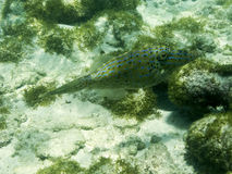 Scrawled Filefish in a Clear Caribbean Ocean. Scrawled Filefish (Aluterus scriptus) on a sandy patch between coral reefs in a clear Caribbean Ocean. Palm Island Stock Images